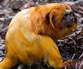 Golden lion tamarin (5312046843).jpg