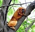 Golden lion tamarin climbing.jpg