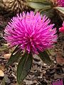 Gomphrena 'Pink Zazzle™,' Phipps Conservatory Outdoor Garden, 2015-10-01, 01.jpg