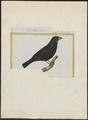 Goniophea noctis - 1700-1880 - Print - Iconographia Zoologica - Special Collections University of Amsterdam - UBA01 IZ16000149.tif