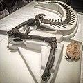 Gorgosaurus Elmer.jpg