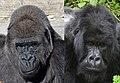 Gorilla gorilla & Gorilla beringei.jpg