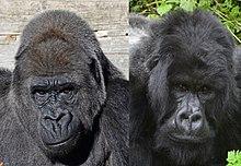 gorilla wikipedia