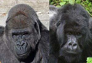 Gorilla - Western gorilla (Gorilla gorilla) and Eastern gorilla (Gorilla beringei)