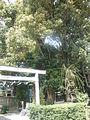Gozu Couple Camphor Trees in Ise.jpg