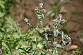 Gråmynta. Mentha longifolia -1319 - Flickr - Ragnhild & Neil Crawford.jpg