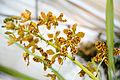 Grammatophyllum speciosum - Internationale Orchideen- und Tillandsienschau Blumengärten Hirschstetten 2016 c.jpg