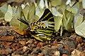 Graphium antiphates naira Moore, 1903 – Sahyadri Five-bar Swordtail at Kannavam RF (22).jpg