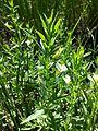 Gratiola officinalis sl7.jpg
