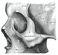 sphenoid bone - wikipedia, Human Body