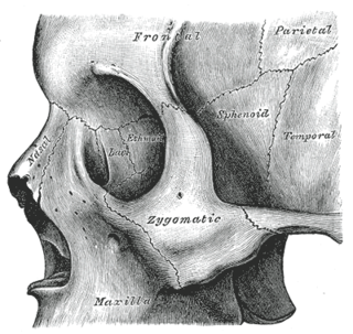 Zygomatic bone facial bone