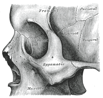 "Zygomatic process - The Zygomatic process forms an ""L"" in this picture."