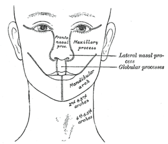 Maxillary prominence - Diagram showing the regions of the adult face and neck related to the fronto-nasal process and the pharyngeal arches. (Maxillary process visible at center right.)