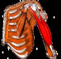 Gray — musculus biceps brachii.png
