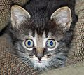 Gray stripy Kitten - 2.JPG