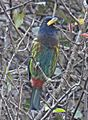 Great Barbet.JPG