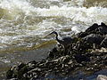 Great Blue Heron hunting at Pawtucket Falls, anterior view; Lowell, MA; 2012-05-19.JPG