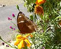 Great Eggfly u-s - Flickr - gailhampshire.jpg