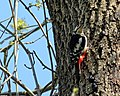 Great spotted woodpecker Dendrocopos major pinetorum in Downhills Park, Haringey London England 4.jpg