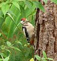 Greater-spotted Woodpecker. - Flickr - gailhampshire (1).jpg