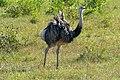 Greater Rhea (Rhea americana) - Flickr - berniedup.jpg