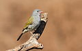 Green-winged Pytilia, Pytilia melba at Mapungubwe National Park, Limpopo, South Africa (male and female in set) (18032382695).jpg