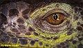 Green Iguana Eye (229940705).jpeg