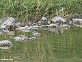 Green Sandpiper (Tringa ochropus) (27750709255).jpg
