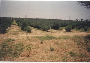Land restoration - Jojoba (Simmondsia chinensis) plantations, such as those shown, have played a role in combating edge effects of desertification in the Thar desert, India.