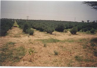 Thar Desert - Greening desert with plantations of jojoba at Fatehpur, Shekhawati
