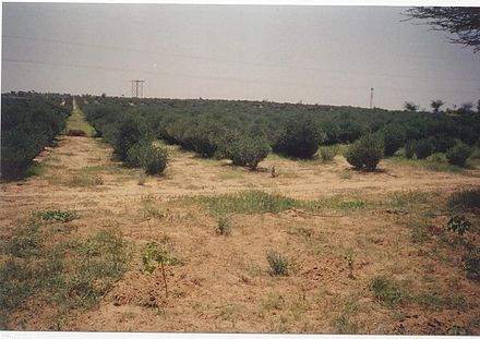 Jojoba plantations, such as those shown, have played a role in combating edge effects of desertification in the Thar Desert, India. GreeningdesertTharIndia.jpg