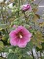 Grenchen - Stokroos (Alcea rosea).jpg