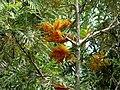Grevillea robusta (Roble australiano) (14250646138).jpg
