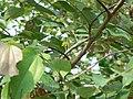 Grewia asiatica (586511213).jpg