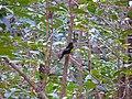 Grey-winged Blackbird - Turdus boulboul - P1030783.jpg