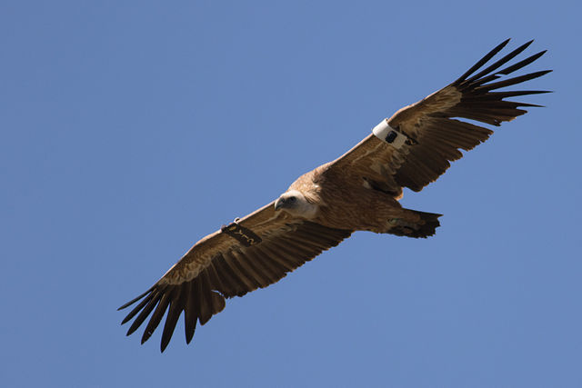 Griffon vulture at Gamla