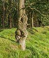 Grillige stam van een eik (Quercus). Locatie, het Katlijker Schar (Ketliker Skar) 01.jpg