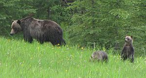Grizzly bear - Sow with two cubs in the Kananaskis