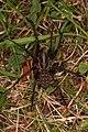 Große Winkelspinne Eratigena atrica.jpg