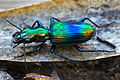Ground Beetle (Catascopus sp.) (8803883592).jpg