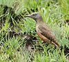 Ground woodpecker 2013 10 23 1928.jpg