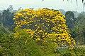 Guayacán amarillo (Tabebuia chrysantha) (15600682605).jpg