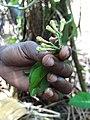 Guide Displays Cloves - Spice Plantation - Outside Stone Town - Zanzibar - Tanzania (8869279930).jpg
