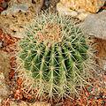 Gymnocalycium pflanzii Jardin des Plantes.jpg