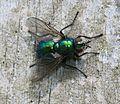 Gymnocheta viridis - Flickr - S. Rae.jpg