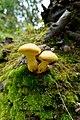 Gymnopilus junonius (42957369710).jpg