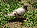 HK CWB 維多利亞公園 Victoria Park 鴿子 Pigeon n green ground May 2016 DSC (5).jpg