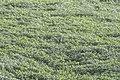 Habitat shot of Black Bittern in Najafgarh, Delhi (47993954721).jpg