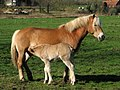 Haflinger mare and foal - geograph.org.uk - 455891.jpg