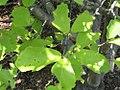 Hamamelis vernalis 3zz.jpg